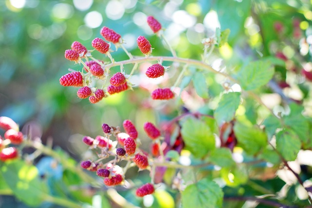 Raspberry fruit loaded with antioxidants!
