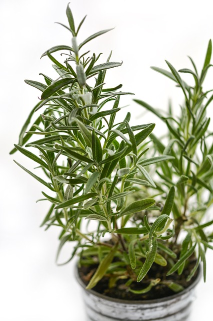 rosemary fresh or dried