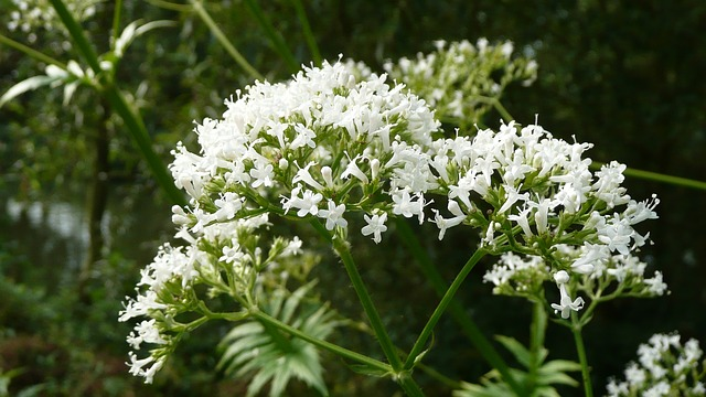 Valerian, medicinal herb and sedative with tranquilizing properties